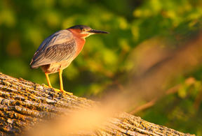 Green Heron perches on Bone Lake fishsticks in dawn light